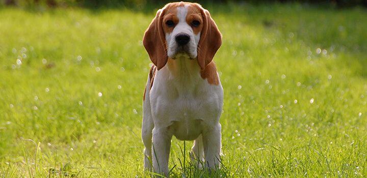 Beagle Lab Mix-The Complete Guide for Beginners