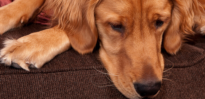 Red Golden Retriever: The Complete Guide of Family Dog