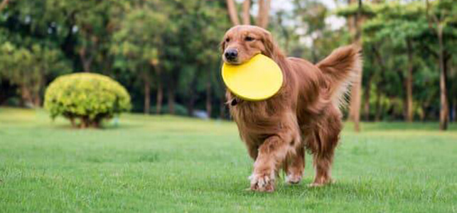 Training products and toys for Red Golden Retrievers